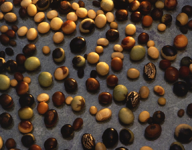 MSMC-bred soybean varieties suited for Missouri growers