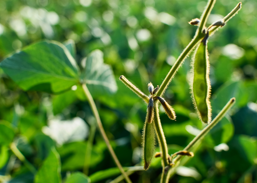 Soybean breeding program among checkoff benefits