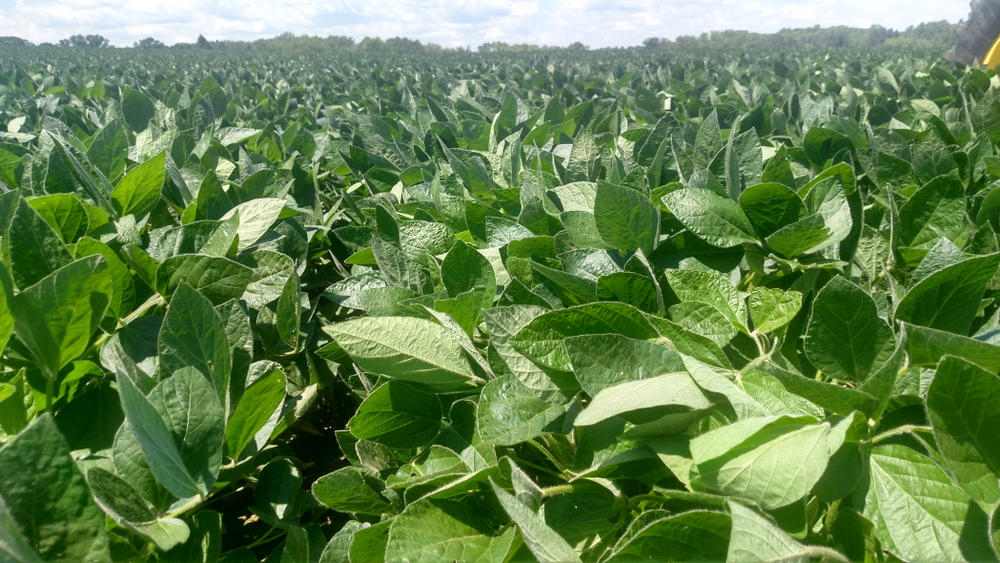 Missouri soybean growers face drought, trade challenges.