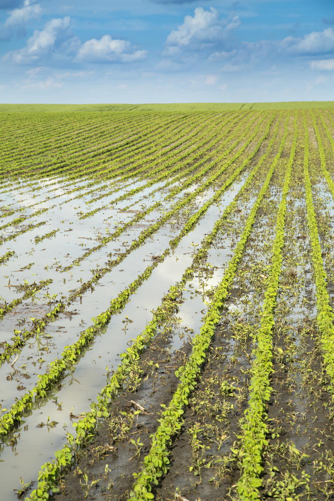 Still yield potential for late-planted soybeans