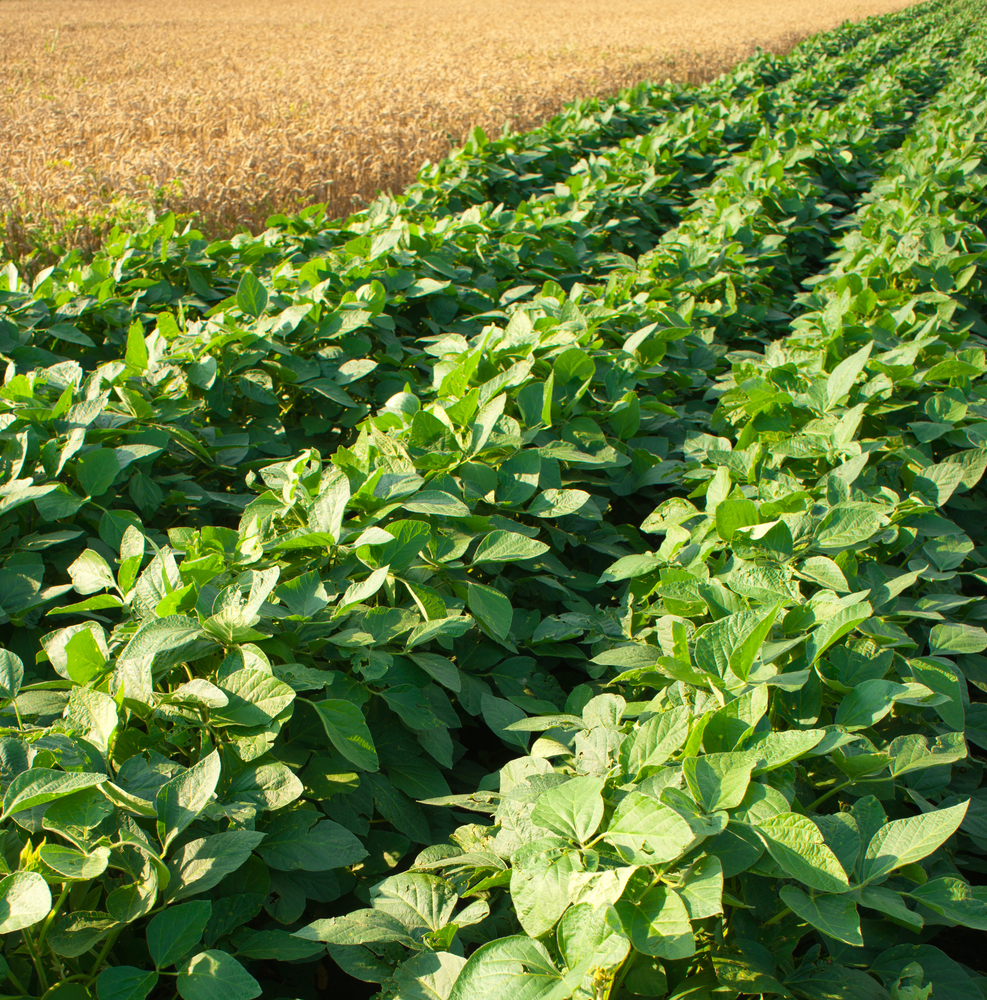 Consider planting yield contest plot
