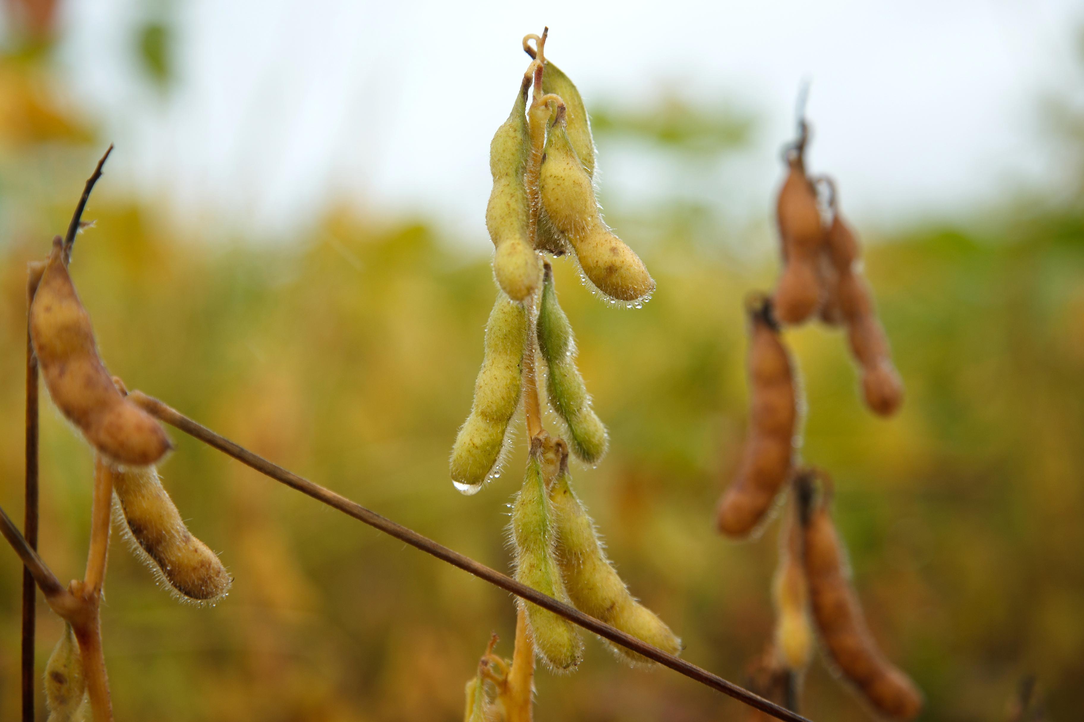 Wet season extends harvest