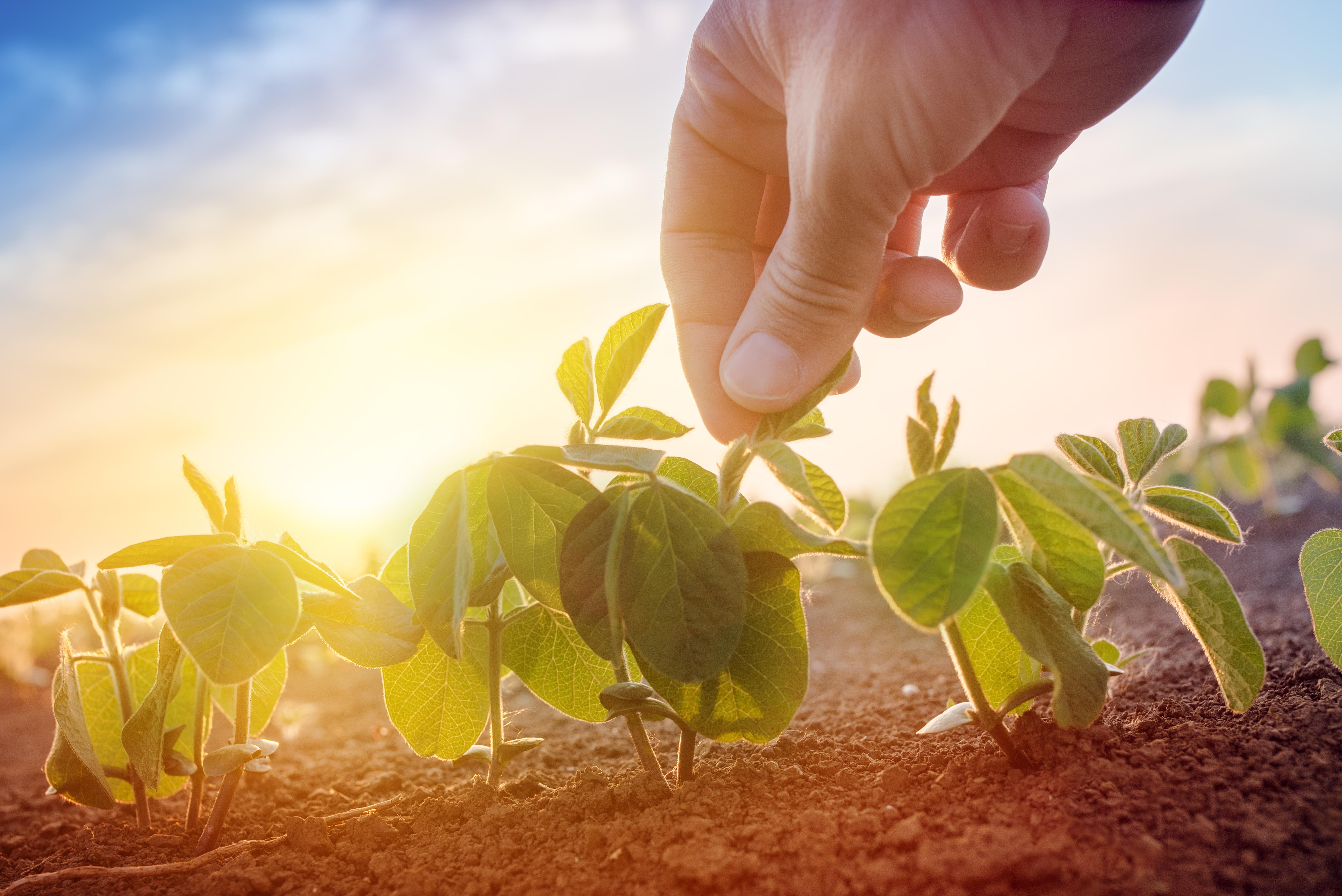 Wild soybean lines add genetic diversity
