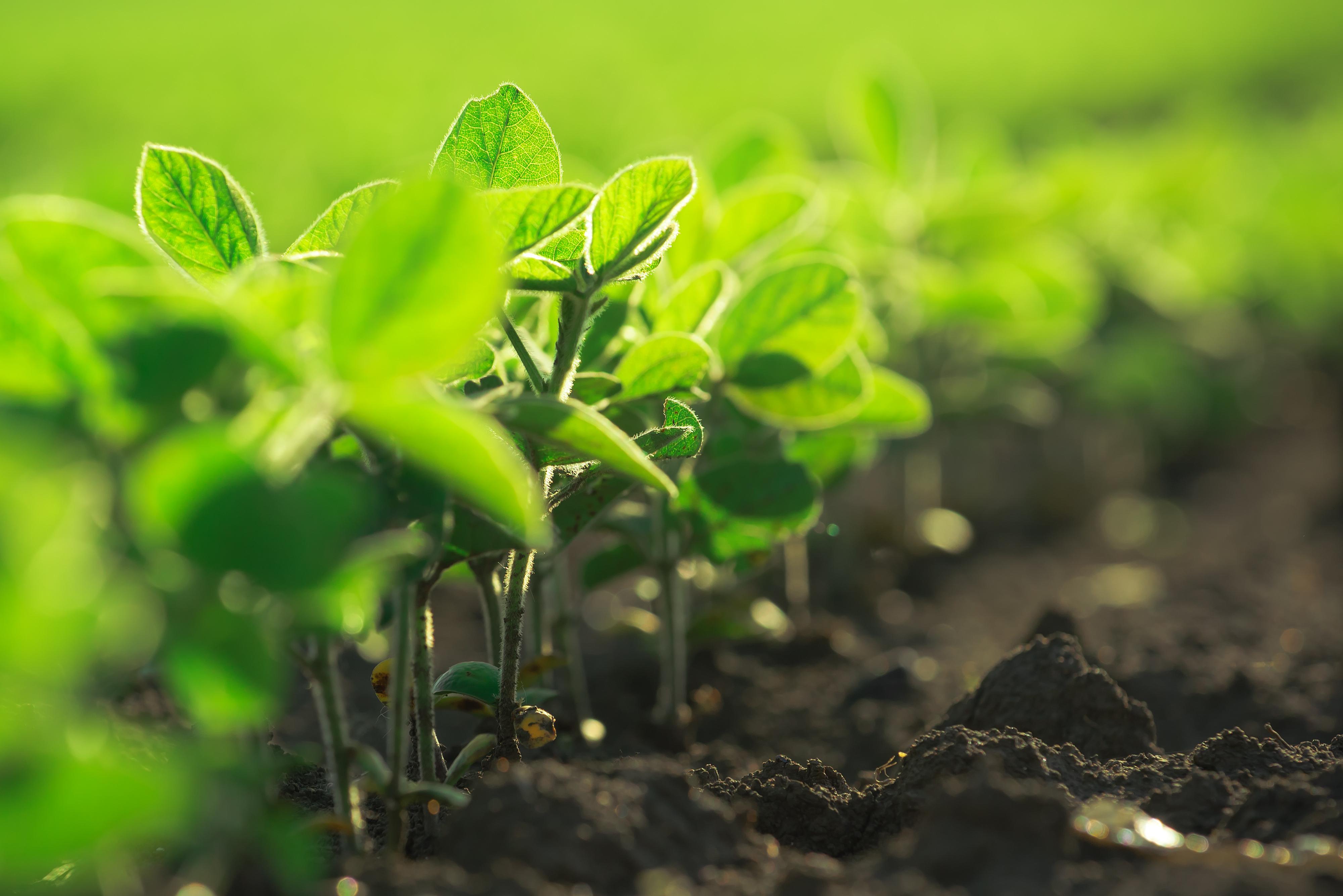 Weather contributes to good soybean progress