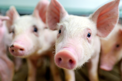 Hogs generate big demand for soybean meal